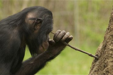 A chimpanzee using a stick to extract food from a tree trunk.
