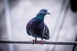 Image of Pigeon on metal wire