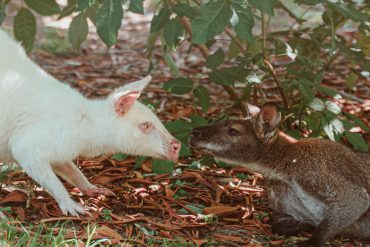 Two kangaroos sniffing each others' noses